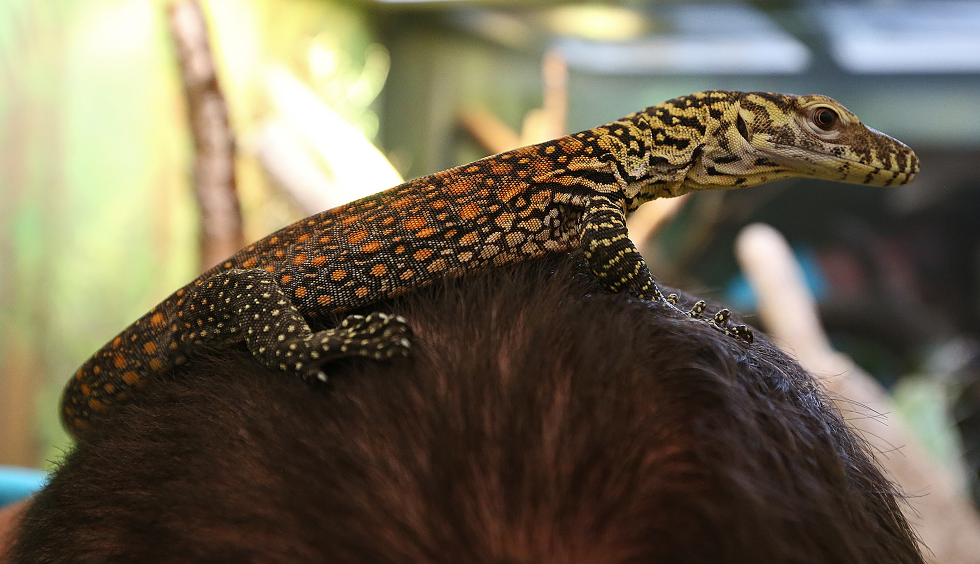 baby komodo dragon debuts at san antonio zoo san antonio