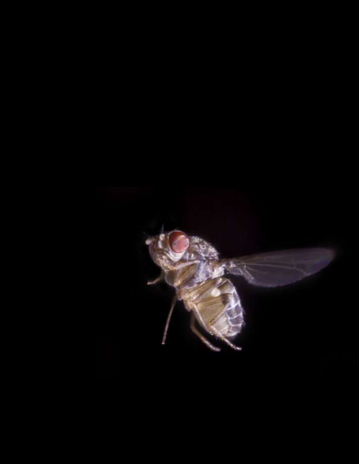 A fruit fly, Drosophila hydei, flaps its wings 200 times a second during normal flight and even faster when taking evasive action. Photo: Florian Muijres And Floris Van Breugel, University Of Washington