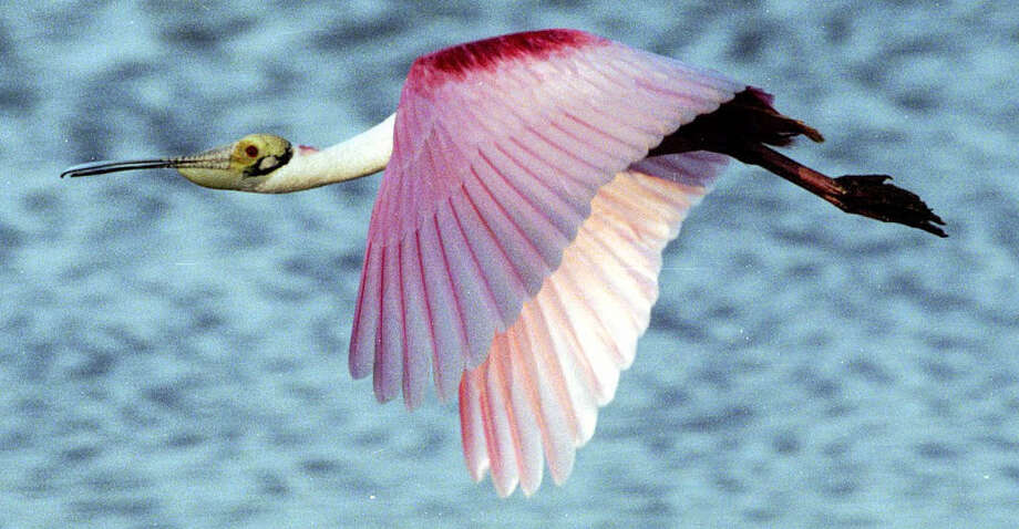 "A Roseate spoonbill flying over J.N. ""Ding"" Darling National Wildlife Refuge. Photo: Ding Darling Society"