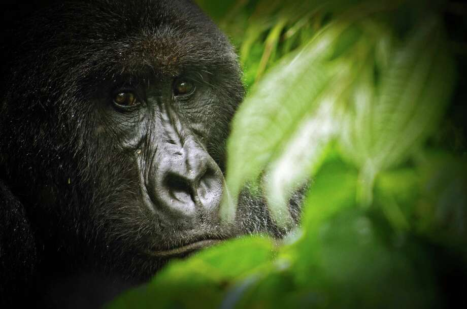 Facebook is an 800-pound gorilla. Like the gorilla, Facebook is the heavyweight of its ecosystem. Photo: LUANNE CADD, AFP Photo, Getty Images / © LuAnne Cadd