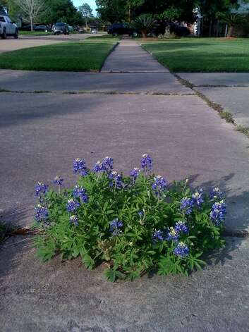These bluebonnets came up from a crack in the sidewalk. By Elizabeth Riddles. Photo: Reader Submission