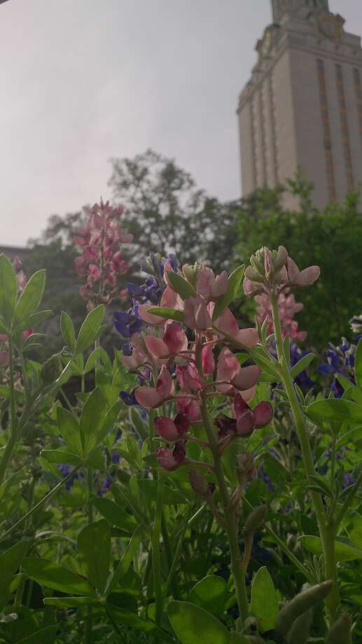 The suspicious bluebonnets started to fade at the University of Texas at Austin. Photo: Hiro Horikoshi, The University Of Texas At Austin