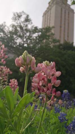 The suspicious bluebonnets started to fade at The University of Texas at Austin.
