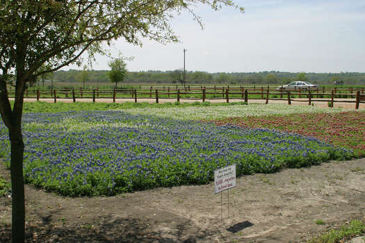 Texas A&M researchers found a way to create maroon bluebonnets. Photo: Skip Richter