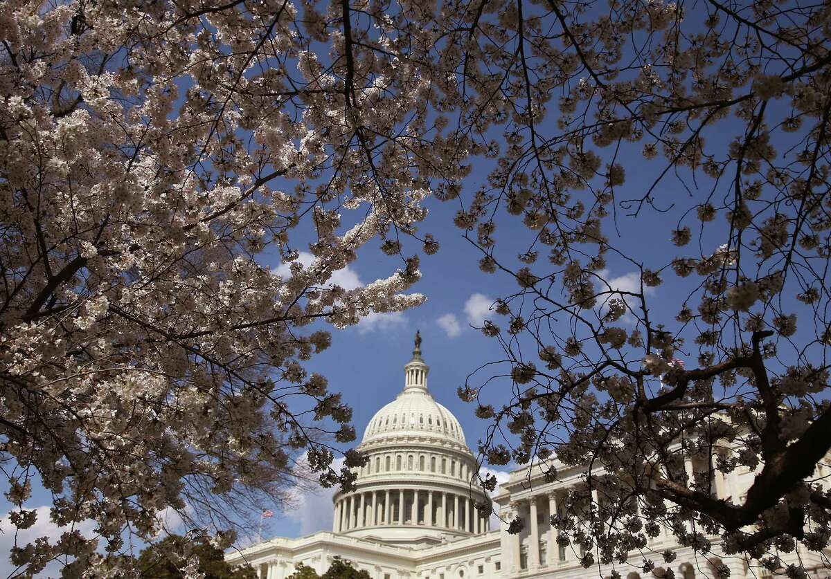 WASHINGTON, DC - APRIL 09: Yoshino Cherry trees are in bloom in front of the U.S. Capitol on April 9, 2014 in Washington, DC. Washington's famed Cherry Blossom trees are on track to be in full bloom this weekend.. (Photo by Mark Wilson/Getty Images) ORG XMIT: 484042515
