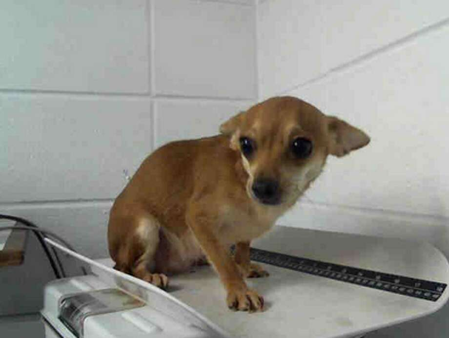 Amethyst, female, Chihuahua, 2 years old, ID:A1224572. Photo: BARC Animal Shelter & Adoptions