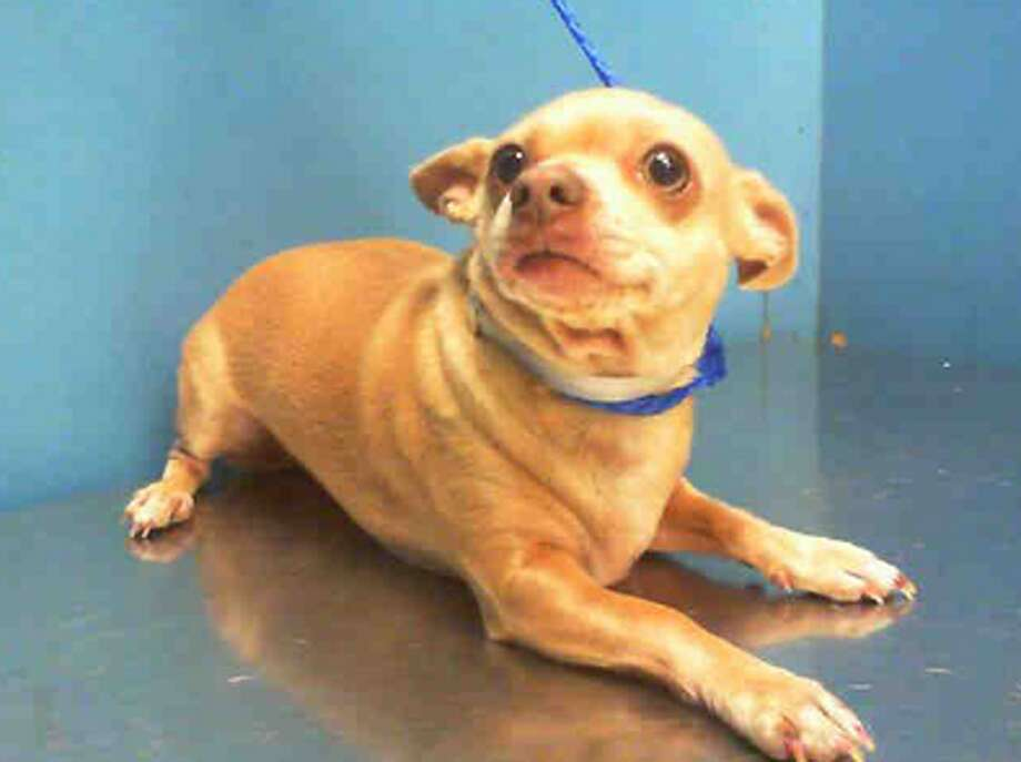 Baby, female, Chihuahua, 2 years old, ID:A1228056. Photo: BARC Animal Shelter & Adoptions