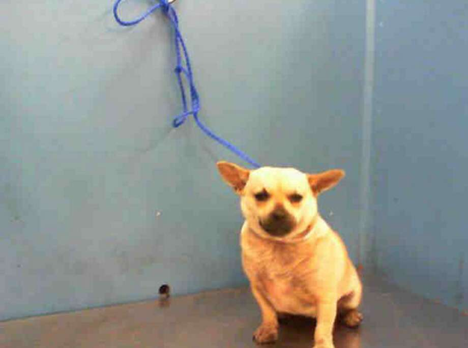 Bailey, female, Chihuahua and Pug, 4 years old, ID:A1225828. Photo: BARC Animal Shelter & Adoptions