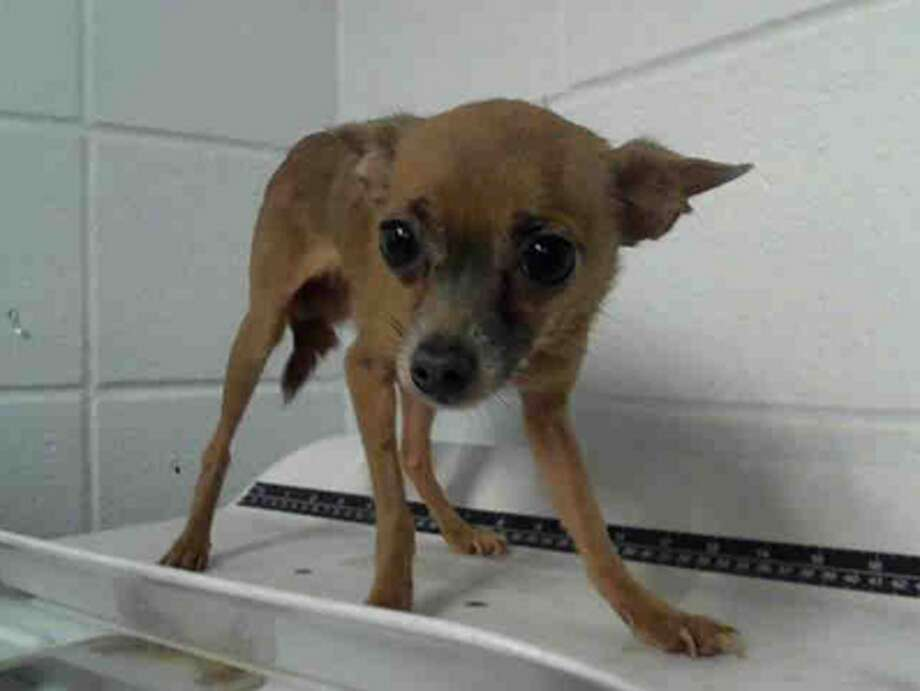 Biggie, male, Chihuahua, 5 years old, ID:A1224574. Photo: BARC Animal Shelter & Adoptions