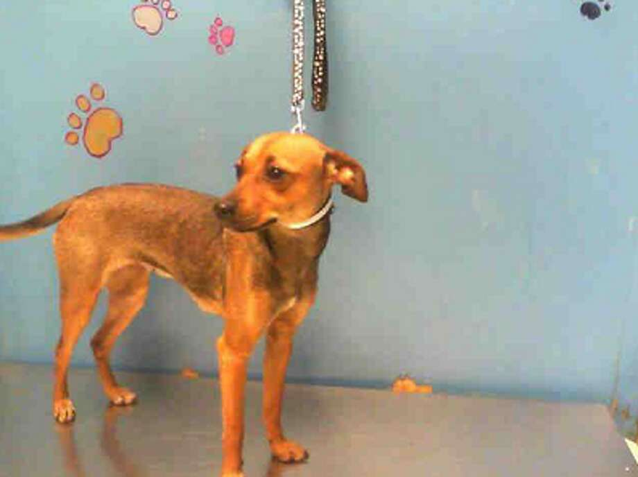 Carina, female, Chihuahua, 10 months old, ID:A1228036. Photo: BARC Animal Shelter & Adoptions
