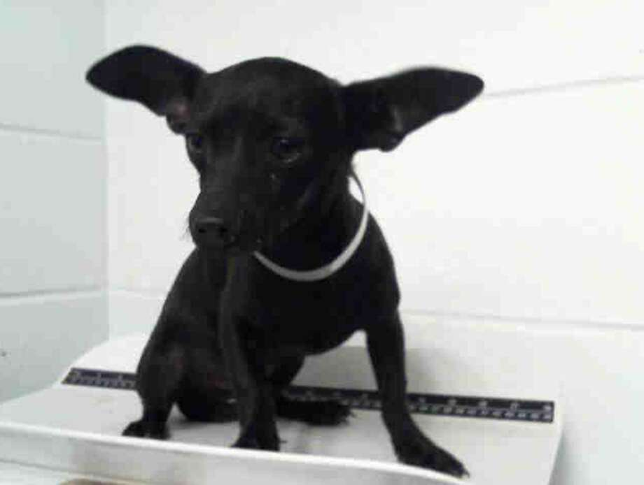 Chicago, male, Chihuahua, 5 months old, ID:A1227037. Photo: BARC Animal Shelter & Adoptions