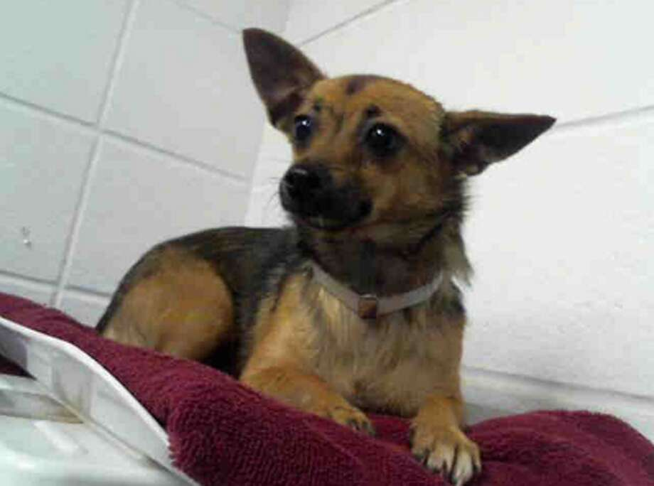 Chichi, female, Chihuahua, 2 years old, ID:A1227465. Photo: BARC Animal Shelter & Adoptions