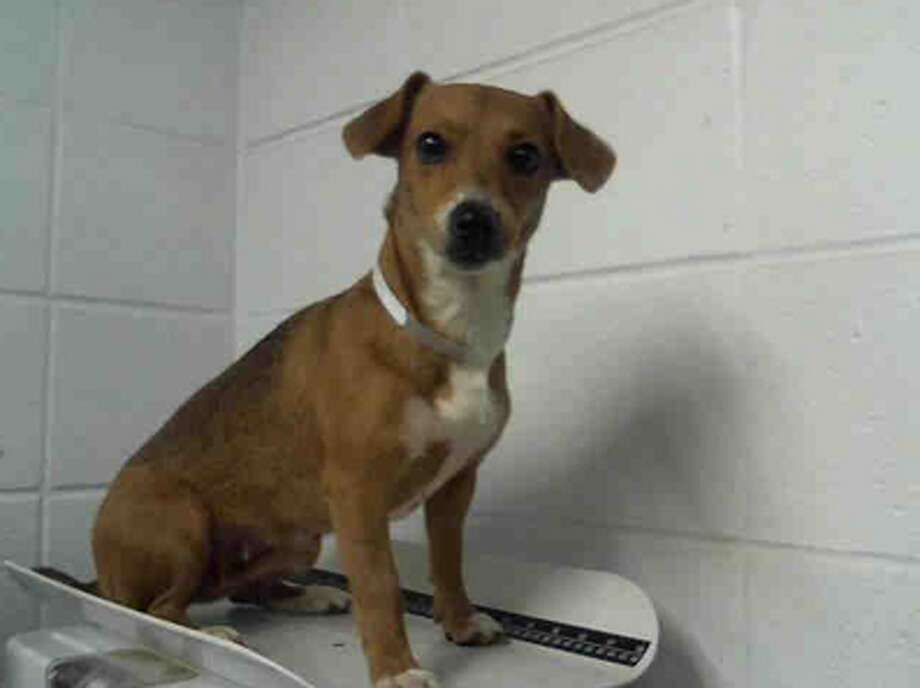 Coco, female, Dachshund and Chihuahua, 3 years old, ID:A1228516. Photo: BARC Animal Shelter & Adoptions