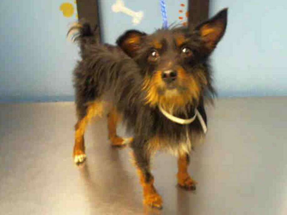 Diamond, female, Yorkshire Terrier and Chihuahua, 3 years old, ID:A1226968. Photo: BARC Animal Shelter & Adoptions