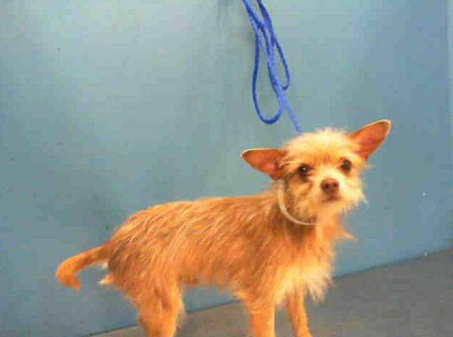 Flaco, male, Chihuahua, 3 years old, ID:A1225834. Photo: BARC Animal Shelter & Adoptions