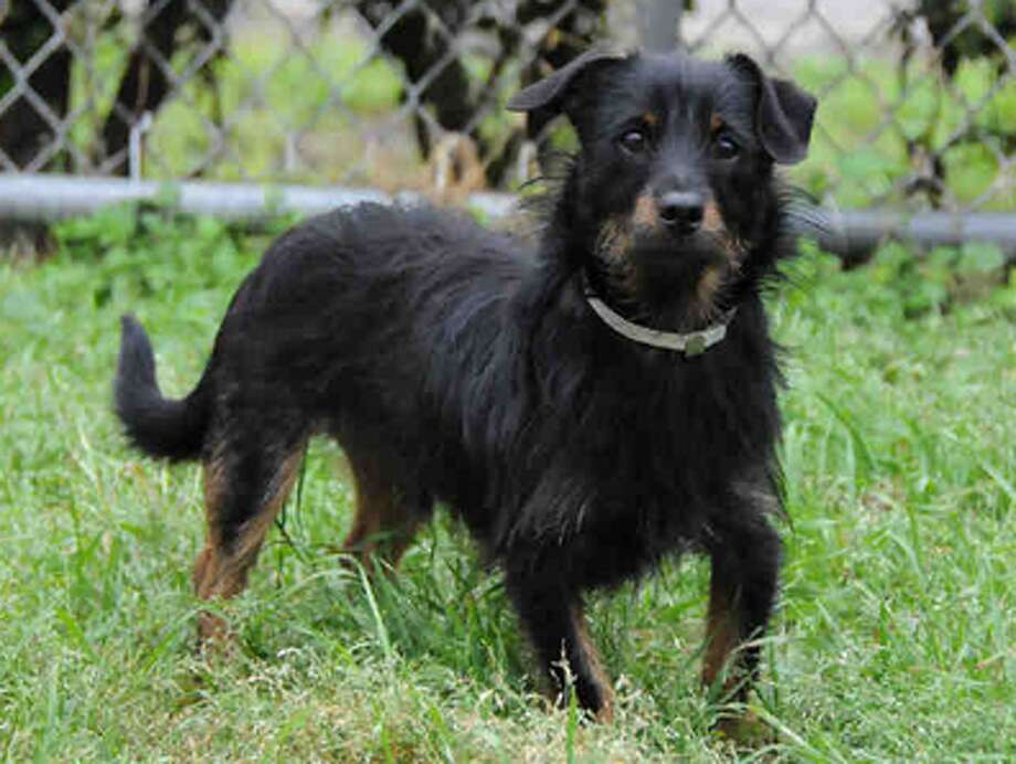 Henry, male, Norfolk Terrier mix, 13 months old, ID:A1224188. Photo: BARC Animal Shelter & Adoptions