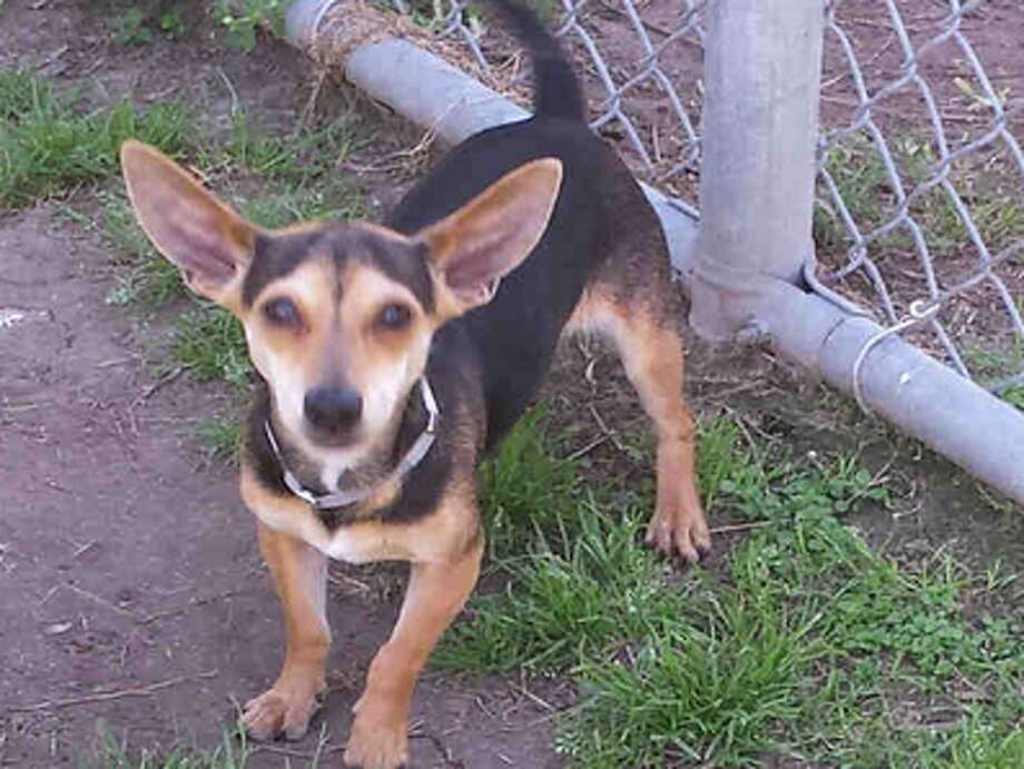 Jason, male, Chihuahua, 13 months old, ID:A1224866. Photo: BARC Animal Shelter & Adoptions