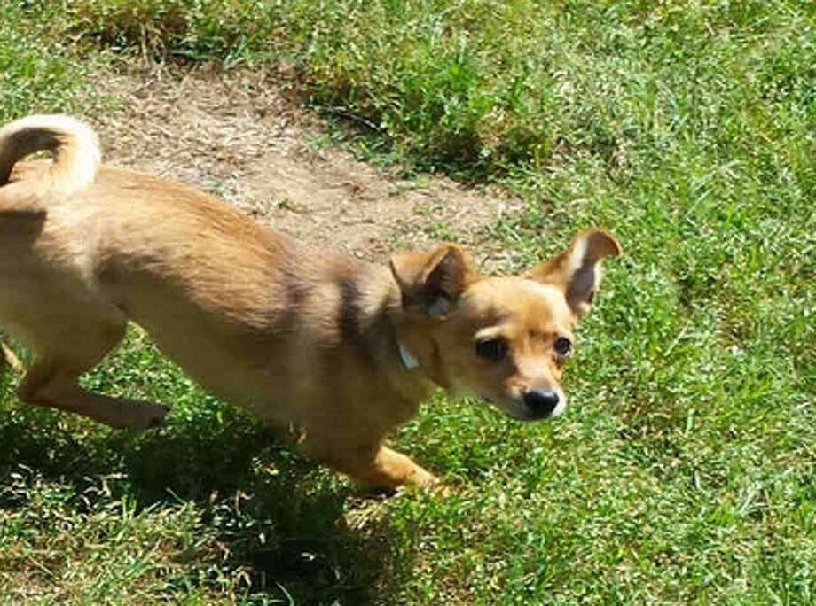 Jinx, female, Chihuahua, 6 months old, ID:A1224867. Photo: BARC Animal Shelter & Adoptions