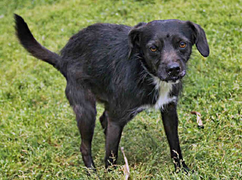 Joey, male, Border Terrier mix, 13 months old, ID:A1224189. Photo: BARC Animal Shelter & Adoptions