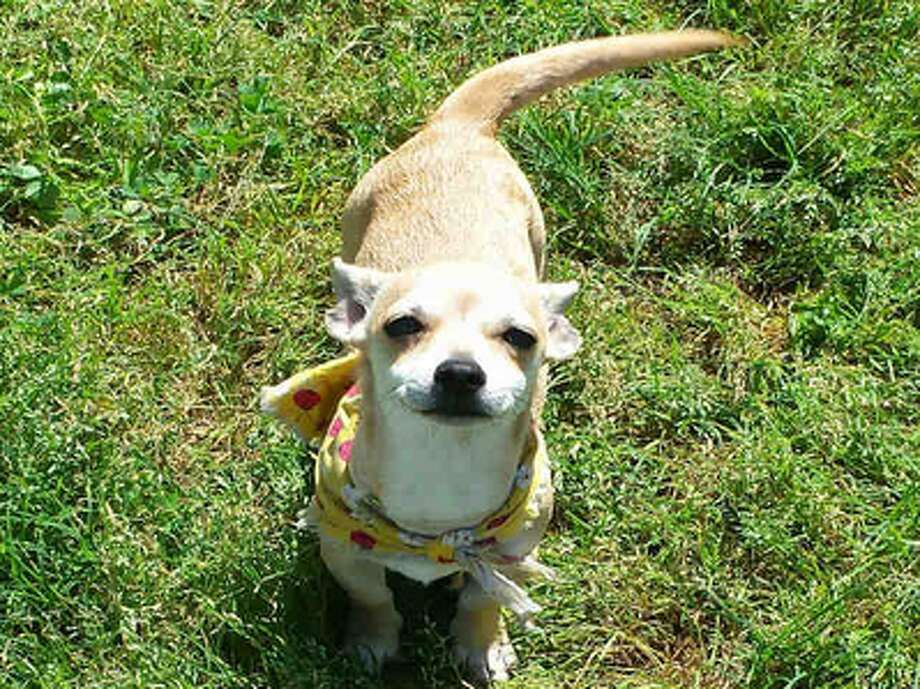 Jubilee, female, Chihuahua, 8 months old, ID:A1224863. Photo: BARC Animal Shelter & Adoptions