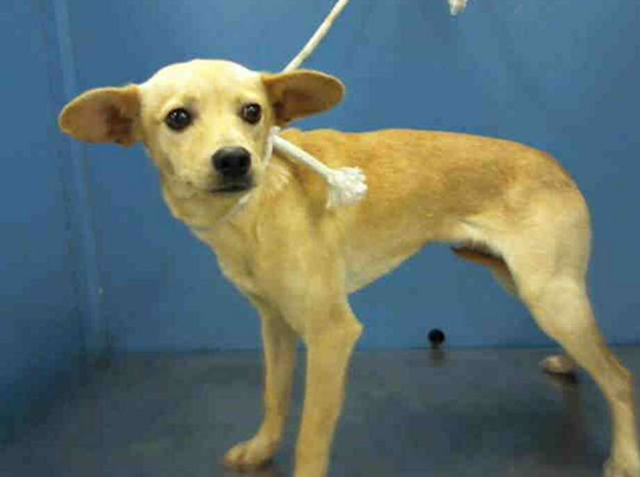 Kaykay, male, Chihuahua, 10 months old, ID:A1224312. Photo: BARC Animal Shelter & Adoptions