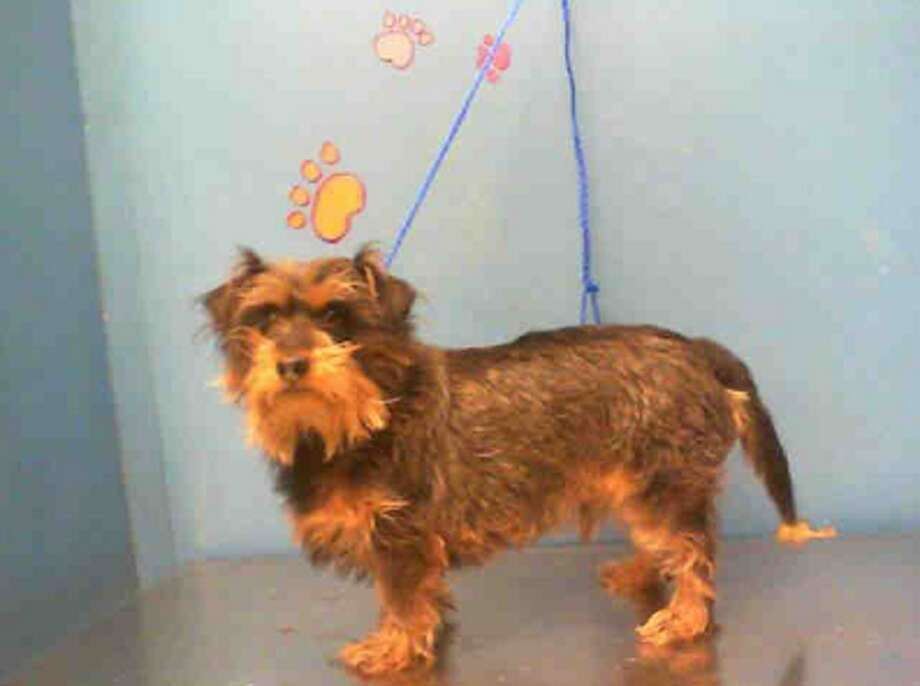 Link, male, Yorkshire Terrier and Dachshund, 4 years old, ID:A1228055. Photo: BARC Animal Shelter & Adoptions