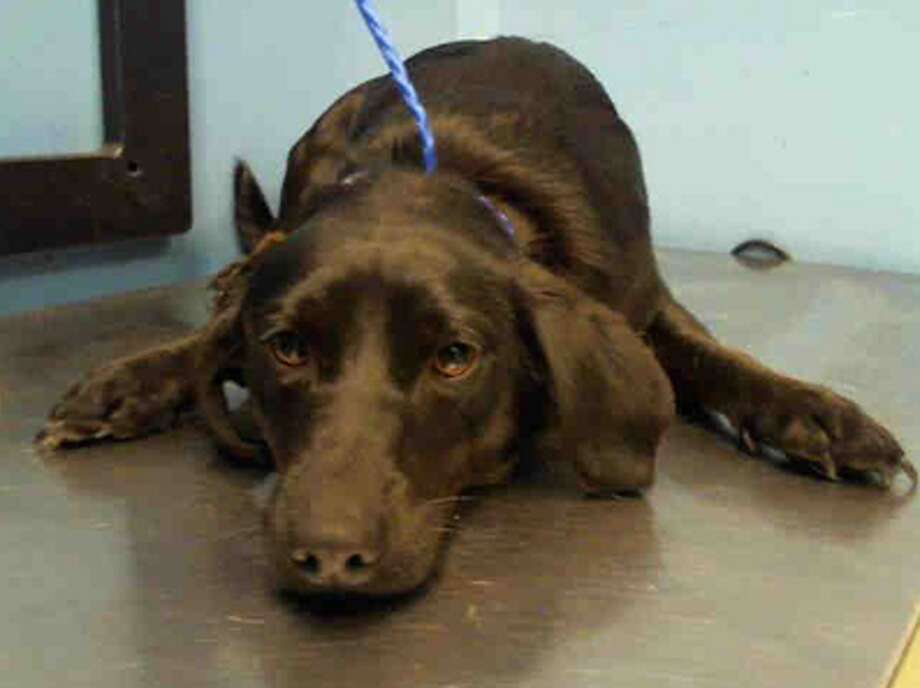 Lucky, male, Dachshund and Chihuahua, 1 year old and 6 months, ID:A1225798. Photo: BARC Animal Shelter & Adoptions