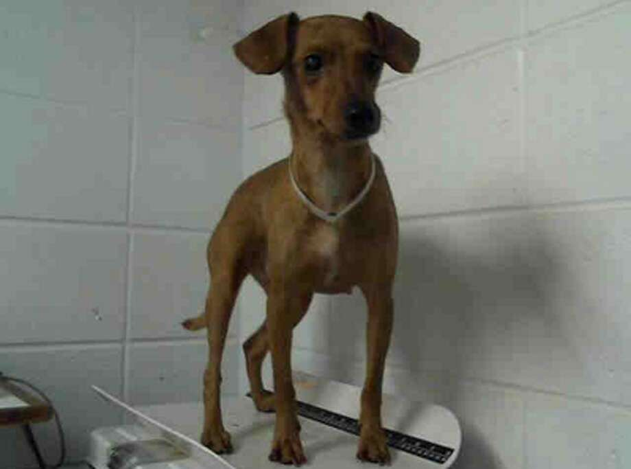 Manchita, female, Chihuahua, 2 years old, ID:A1228515. Photo: BARC Animal Shelter & Adoptions