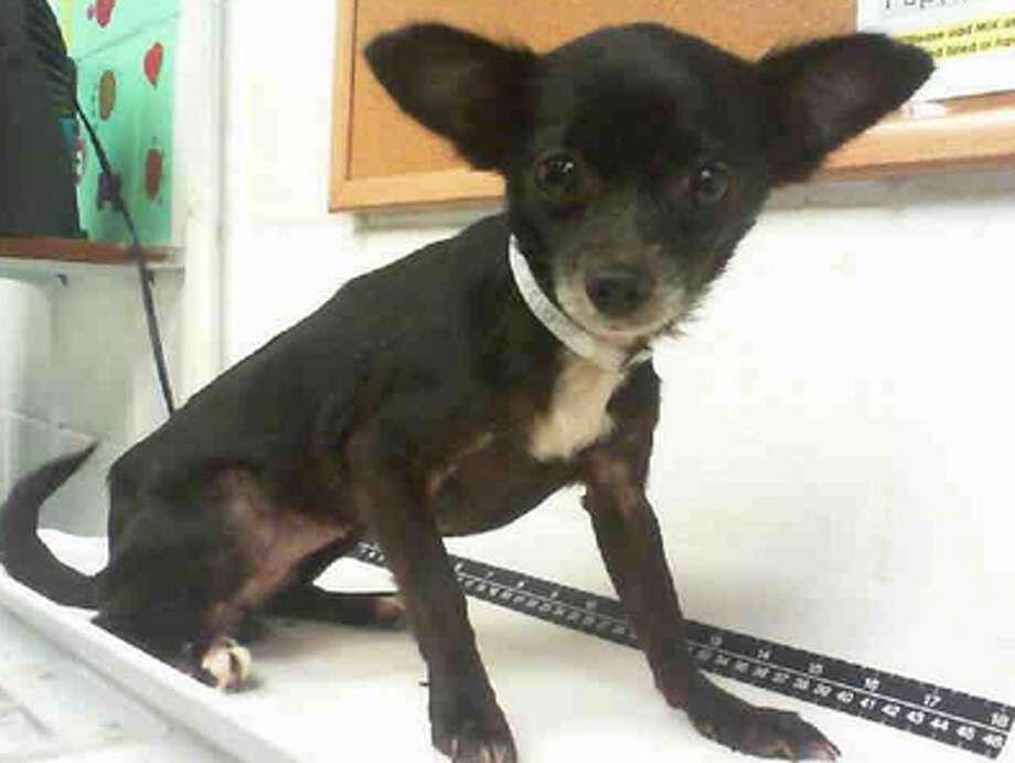 Prieta, female, Chihuahua, 5 years old, ID:A1227425. Photo: BARC Animal Shelter & Adoptions