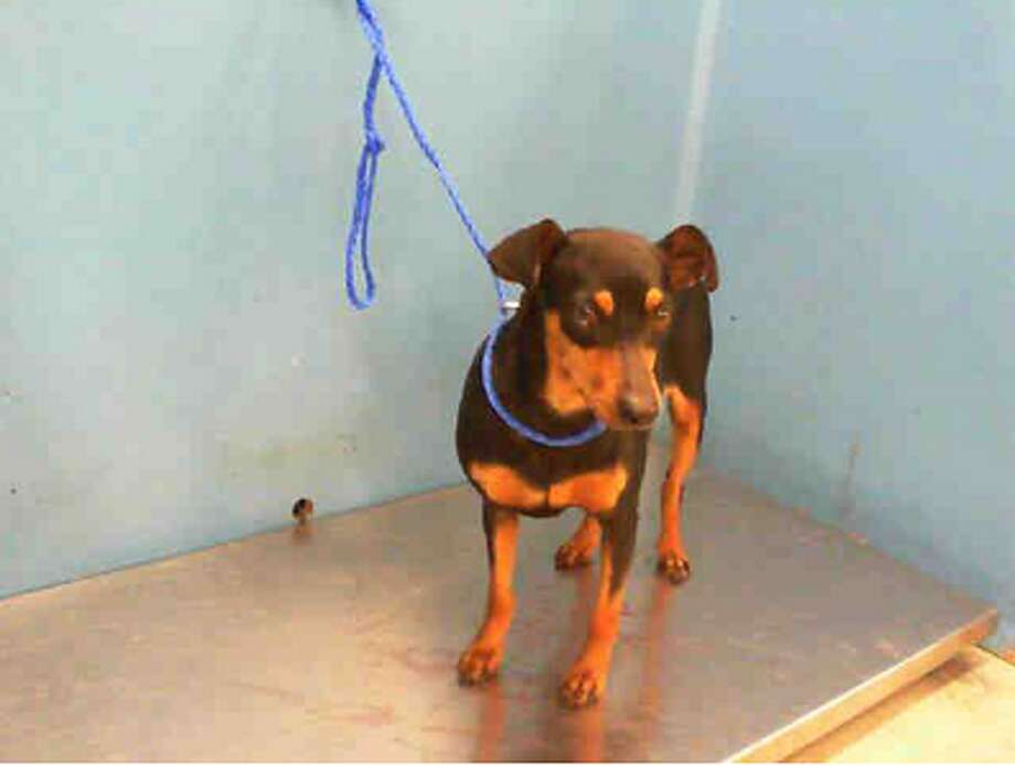 Queen, female, Miniature Pinscher mix, 2 years old, ID:A1225100. Photo: BARC Animal Shelter & Adoptions