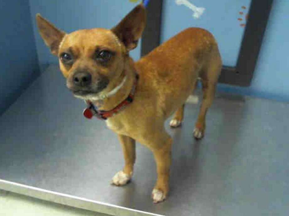 Roscoe, male, Chihuahua, 3 years old, ID:A1224629. Photo: BARC Animal Shelter & Adoptions