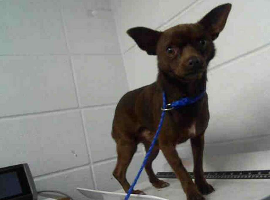 Steam, male, Chihuahua, 13 months old, ID:A122427. Photo: BARC Animal Shelter & Adoptions