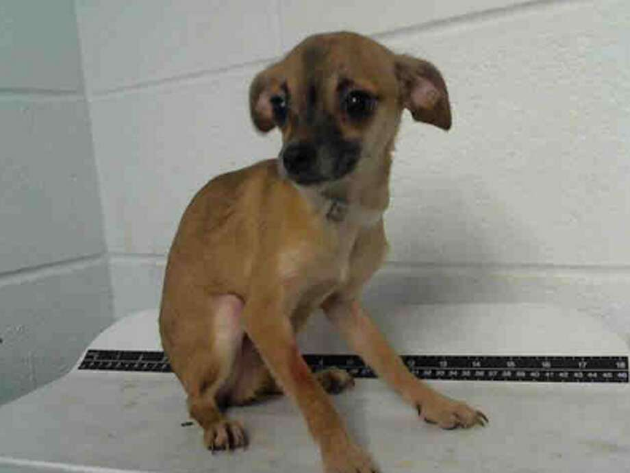 Thurgood, male, Chihuahua, 13 months old, ID:A1224576. Photo: BARC Animal Shelter & Adoptions