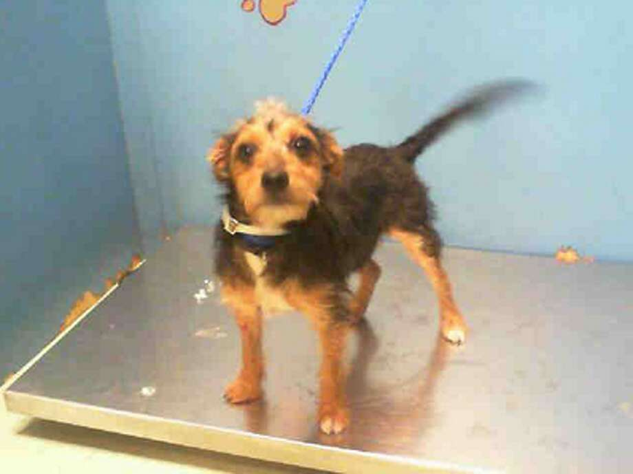 Tricia, female, Australian Terrier mix, 10 months old, ID:A1227414. Photo: BARC Animal Shelter & Adoptions