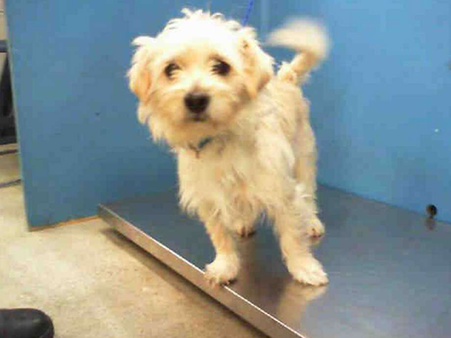 Unnamed Dog, male, Cairn Terrier mix, 1 year old, ID:A1227498. Photo: BARC Animal Shelter & Adoptions
