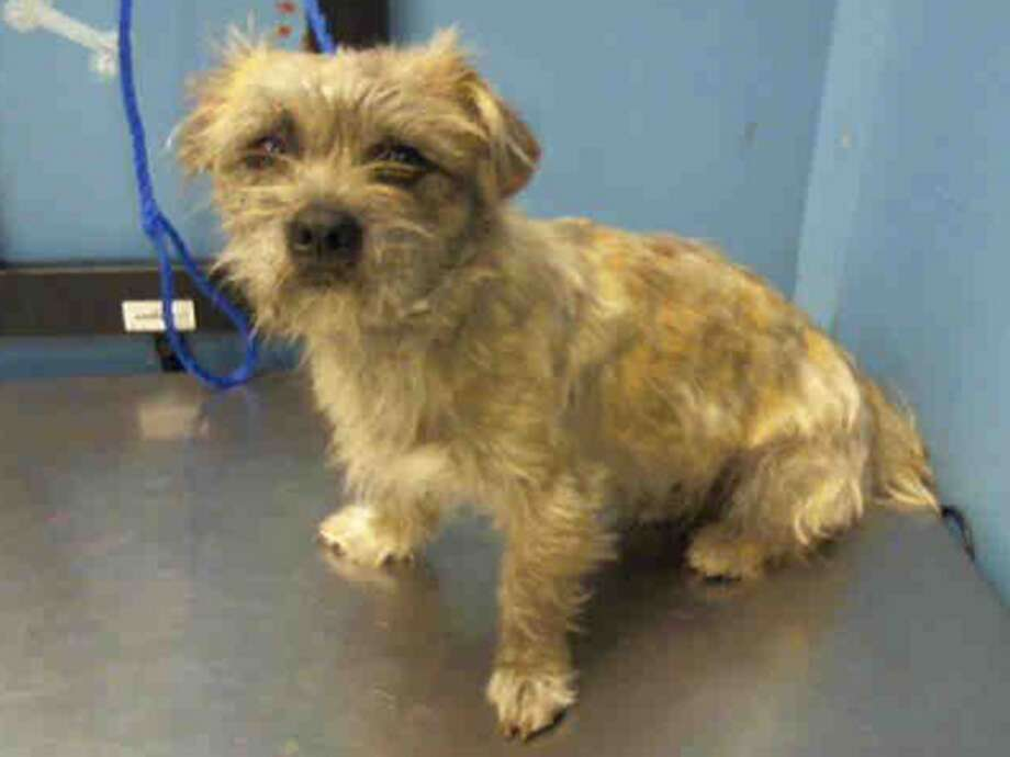 Wes, male, Border Terrier mix, 1 year old, ID:A1227038. Photo: BARC Animal Shelter & Adoptions