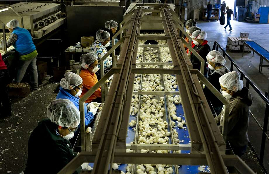 GILROYIs the biggest garlic producer in the U.S. part of the Bay Area? Photo: Michael Macor, The Chronicle