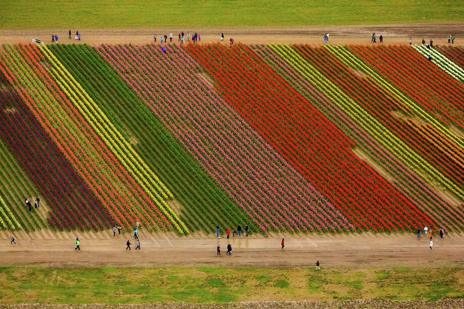 Stripes of color of the annual Skagit Valley Tulip Festival from above Friday, April 11, 2014. Aerial access courtesy of HeliTours Seattle and Classic Helicopters. Photo: JORDAN STEAD, SEATTLEPI.COM / SEATTLEPI.COM