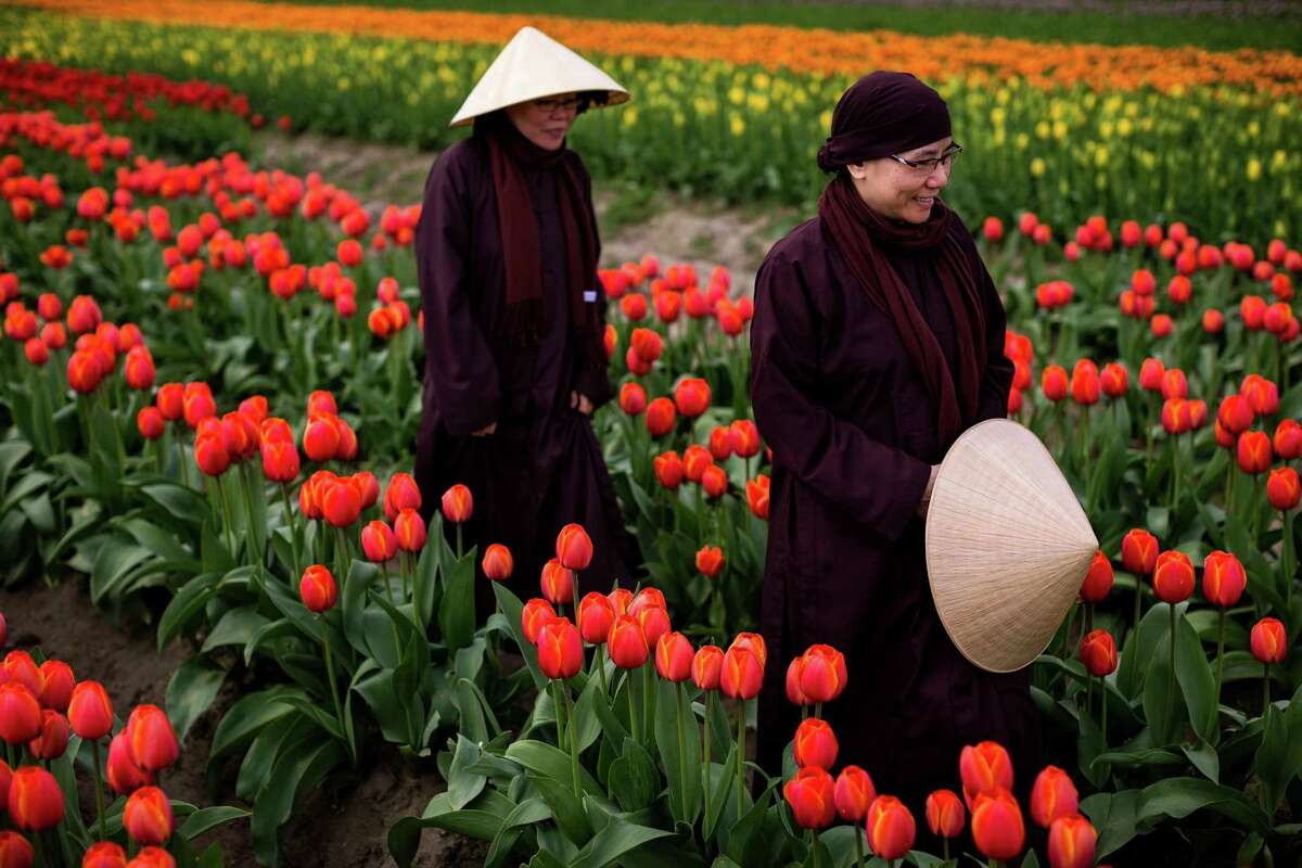 Originally from Taiwan, Buddhist nuns Sister Tám Ván, right, and Sister Dien Hoa, left, navigate their way through rows of colorful blooms during the annual Skagit Valley Tulip Festival on Friday, April 11, 2014, between Mount Vernon and La Conner, Wash. Every year, hundreds of thousands of people come to the Skagit Valley in the spring to enjoy acres upon acres of nature's blossoming beauties.
