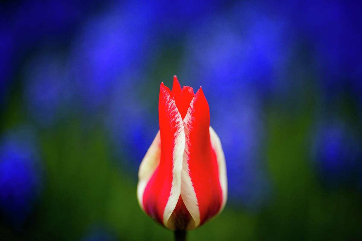 A multi-colored bloom opens to sunlight during the annual Skagit Valley Tulip Festival on Friday, April 11, 2014.