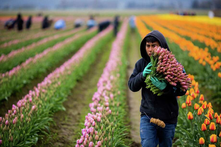 Fieldworkers load out freshly cut flowers during the annual Skagit Valley Tulip Festival on Friday, April 11, 2014. Photo: JORDAN STEAD, SEATTLEPI.COM / SEATTLEPI.COM
