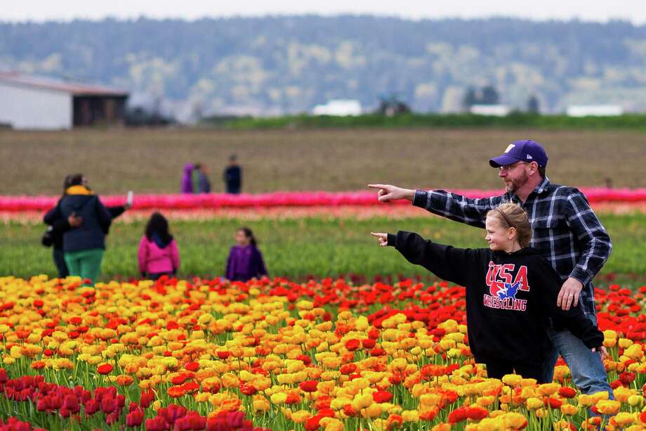 Lost in a sea of stunningly colorful blooms, people pose for pictures during the annual Skagit Valley Tulip Festival on Friday, April 11, 2014. Photo: JORDAN STEAD, SEATTLEPI.COM / SEATTLEPI.COM
