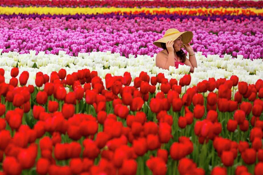 Lost in a sea of stunningly colorful bulbs, people pose for pictures during the annual Skagit Valley Tulip Festival on Friday, April 11, 2014, Photo: JORDAN STEAD, SEATTLEPI.COM / SEATTLEPI.COM