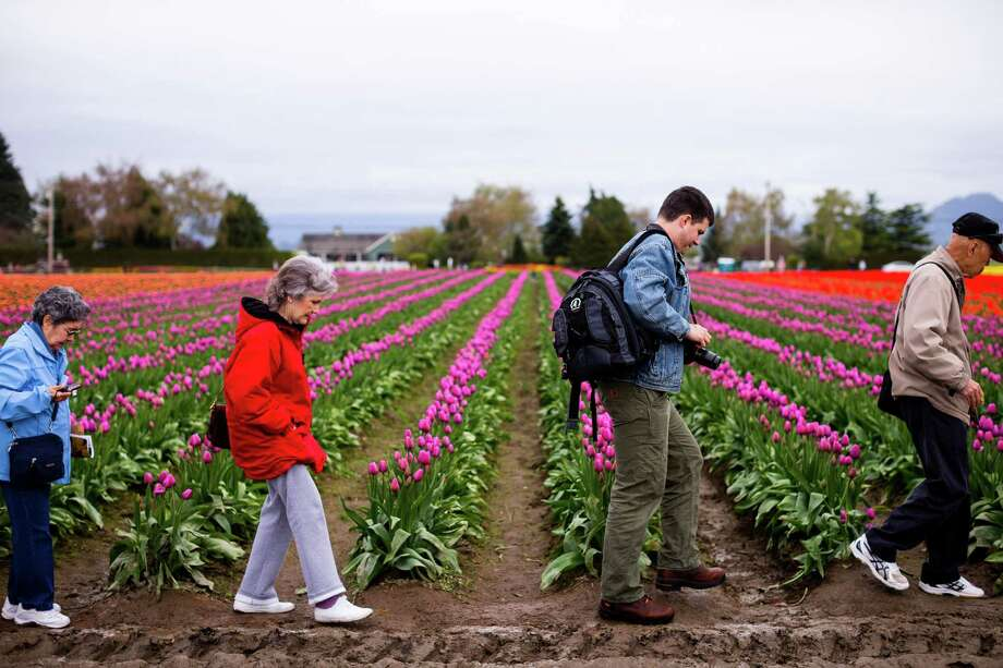 Visitors gingerly make their way through the muddy grounds of the annual Skagit Valley Tulip Festival on Friday, April 11, 2014. Photo: JORDAN STEAD, SEATTLEPI.COM / SEATTLEPI.COM