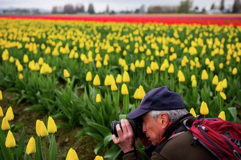 The annual Skagit Valley Tulip Festival is a photographer's dream come true, photographed Friday, April 11, 2014, between Mount Vernon and La Conner, Wash. Photo: JORDAN STEAD, SEATTLEPI.COM / SEATTLEPI.COM