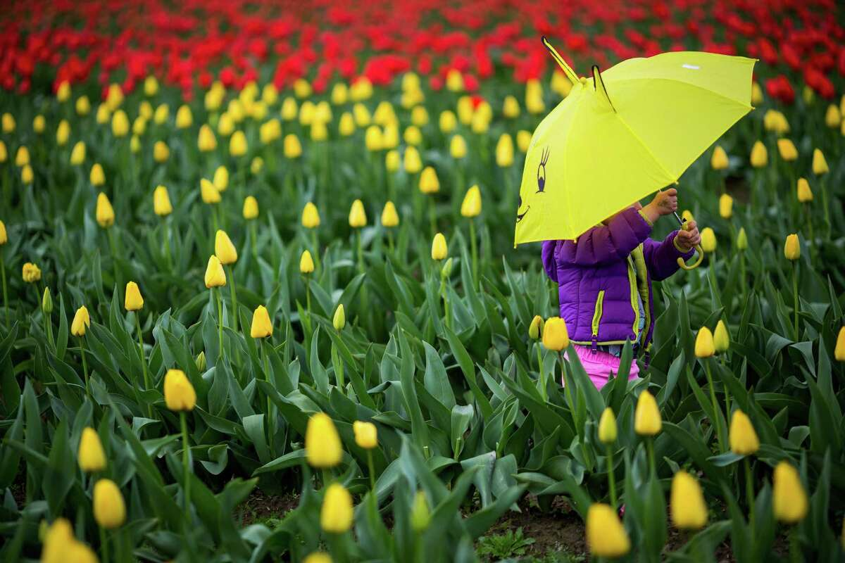 Lost in a sea of stunningly colorful bulbs, people pose for pictures during the annual Skagit Valley Tulip Festival Friday, April 11, 2014, between Mount Vernon and La Conner, Wash. Every year, hundreds of thousands of people come to the Skagit Valley in the spring to enjoy acres upon acres of nature's blossoming beauties.