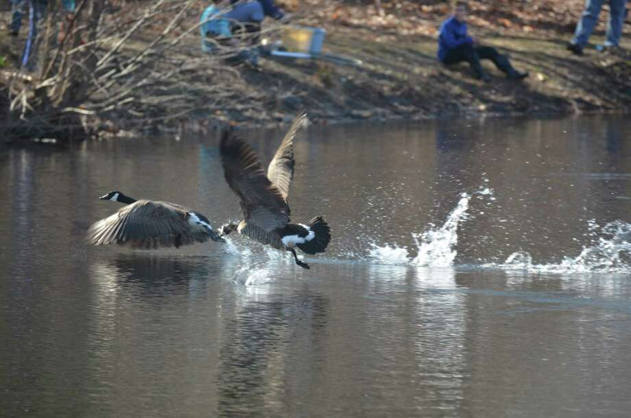 The geese were a little unsettled during the annual fishing derby held at New Canaan's Mill Pond on Saturday, April 12, 2014. Photo: Jeanna Petersen Shepard, Freelance Photo / New Canaan News freelance