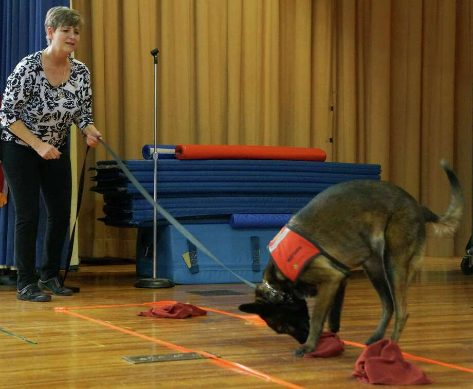 Senna, a mine detection dog, sniffs out a defused landmine during an assembly Thursday at Parkway School, while her handler, Kimberly McCasland, of the Marshall Legacy Institute, looks on. Photo: Paul Schott, Anne Semmes / Greenwich Time