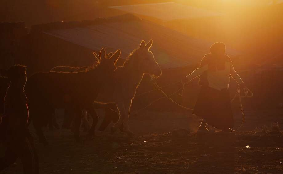 "A woman leads away her newly acquired donkeys through the grounds of the ""Feria de Ramos,"" or Palm Fair in El Alto, Bolivia, Saturday, April 12, 2014. The annual three day livestock fair takes place every Palm Sunday weekend and is a Holy Week, or Easter tradition. Photo: Juan Karita, Associated Press"