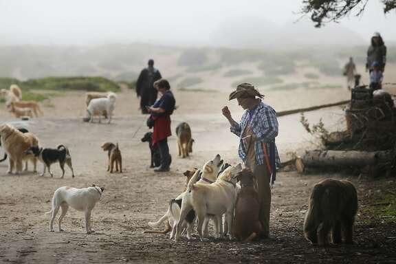 Profession dog walker Wild Bill Peacock waits for his turn at the doggie water fountain with 8 of his clients dogs at Fort Funston Golden Gate National Recreation Area on the edge of San Francisco, Calif.
